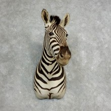 African Zebra Shoulder Mount For Sale #17762 @ The Taxidermy Store